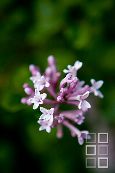 Blooming lilac = overwhelming fragrance.